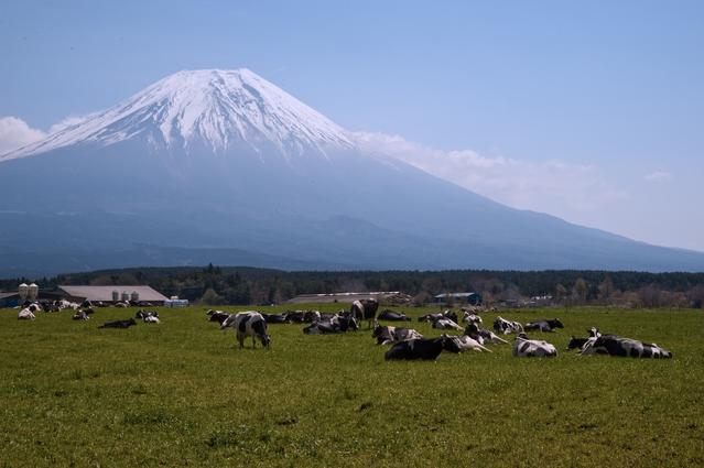 Cows at Fuji