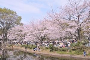 Hanami by a river