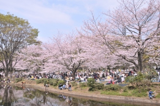 Hanami by a river