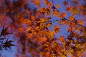 Autumn Leaves in Toyama