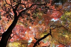 Akizuki Foliage